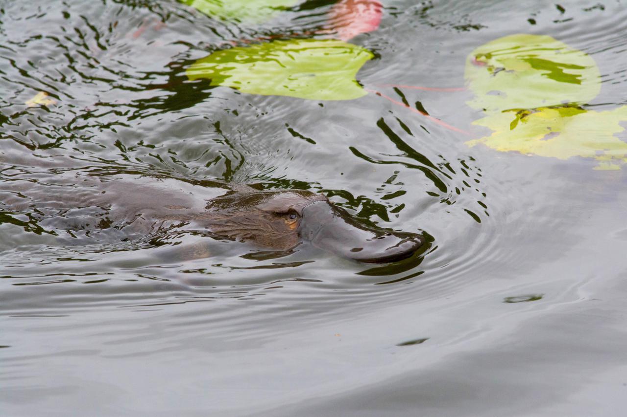画像: カモノハシ/参照:FNQ Nature Tours
