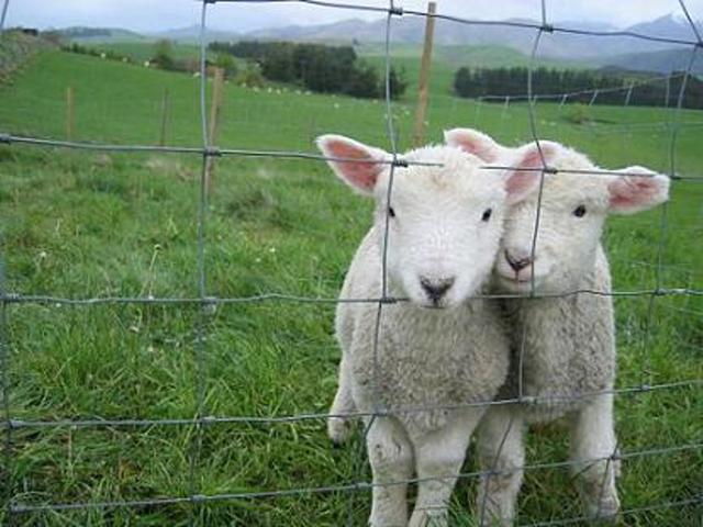 画像: ニュージーランドの羊(イメージ)