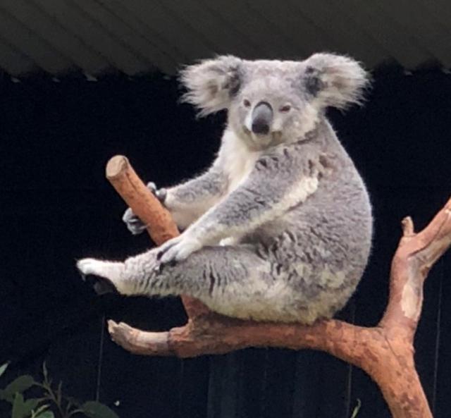 画像: 足をかくコアラ