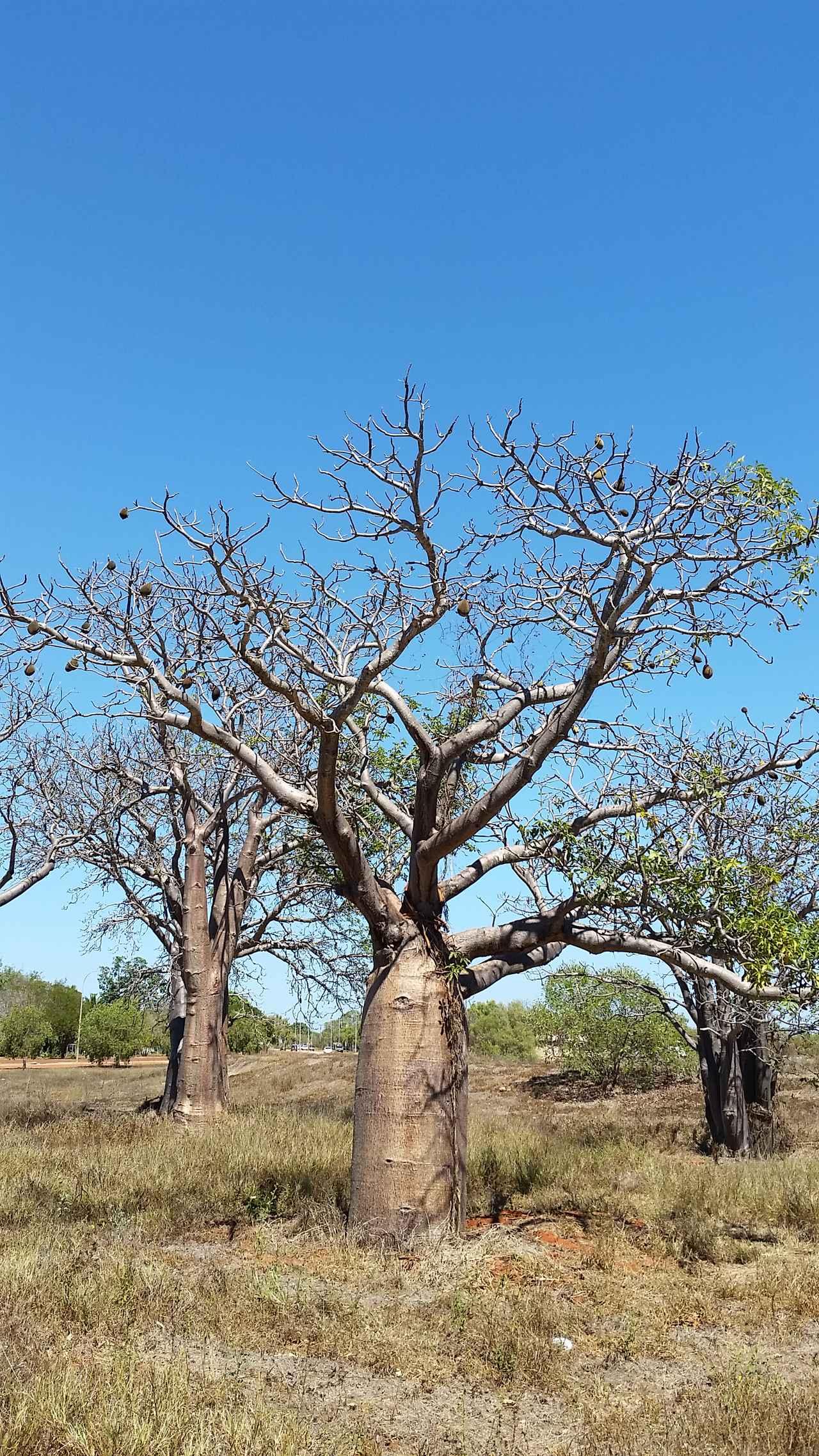 画像: ボアブ (通称バオバブ) ©️Oakley Kyoko まるで絵本の世界!西オーストラリア北部に自生しており幹に多くの水を蓄え乾季には葉を落とし休眠します。