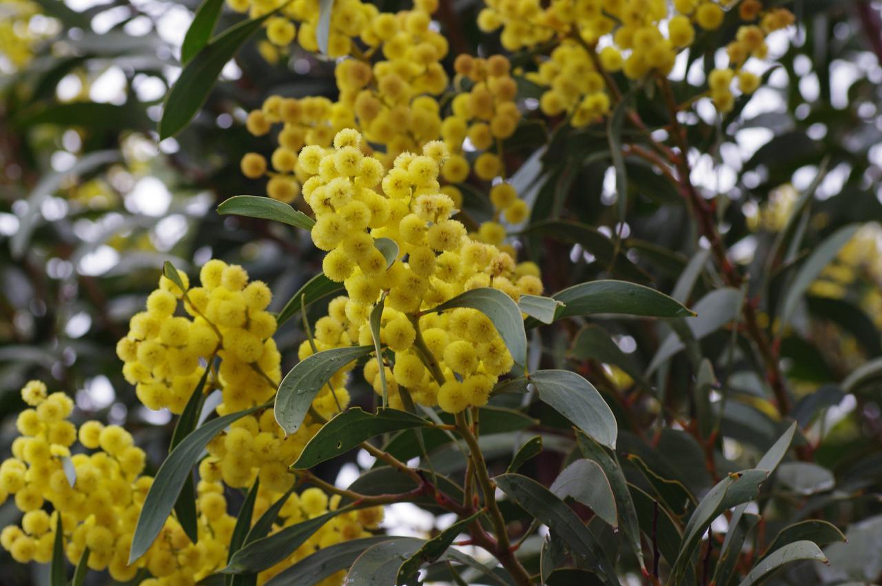 画像: 【おまけ】ゴールデン・ワトル ©️Oakley Kyoko 西オーストラリアのワイルドフラワー(在来種)ではありませんが、オーストラリアの国花です。