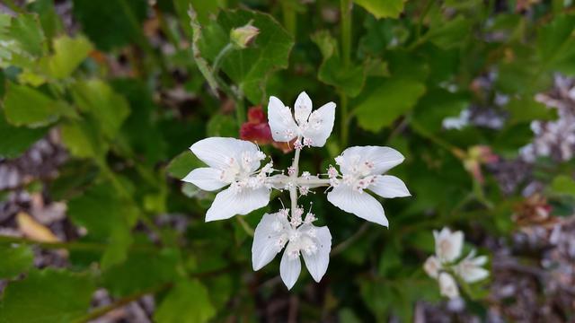 画像: サザンクロス ©️Oakley Kyoko サザンクロスとは南十字星(南十字座)のこと。本種は南部で見られるサザンクロスですが、キングスパークでも咲かせています。
