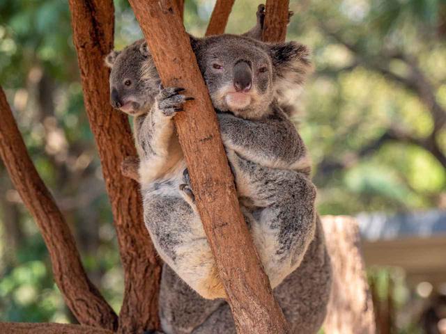 画像: コアラの親子(©Tourism Australia)