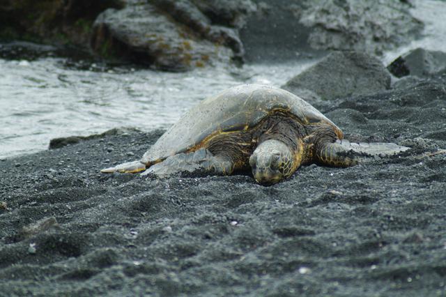 画像: 黒砂海岸のウミガメ(イメージ)