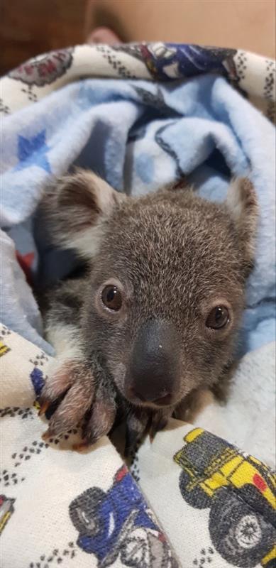 画像: コアラの赤ちゃん、ちらっ(©️CaPTAグループ)