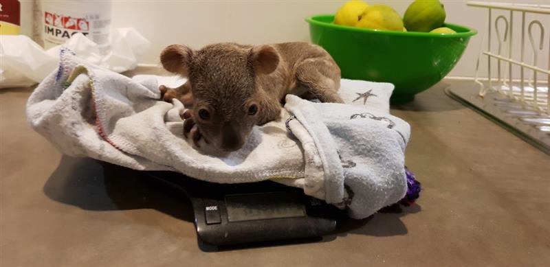 画像: コアラの赤ちゃん体重測定(©️CaPTAグループ)