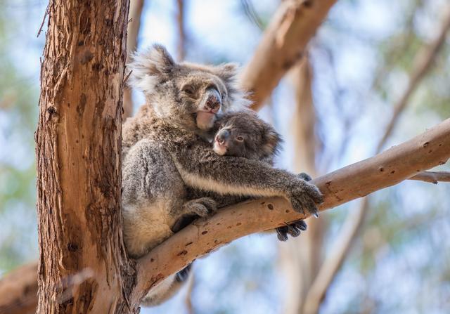 画像: お母さんコアラに抱っこ(©️Tourism Australia)