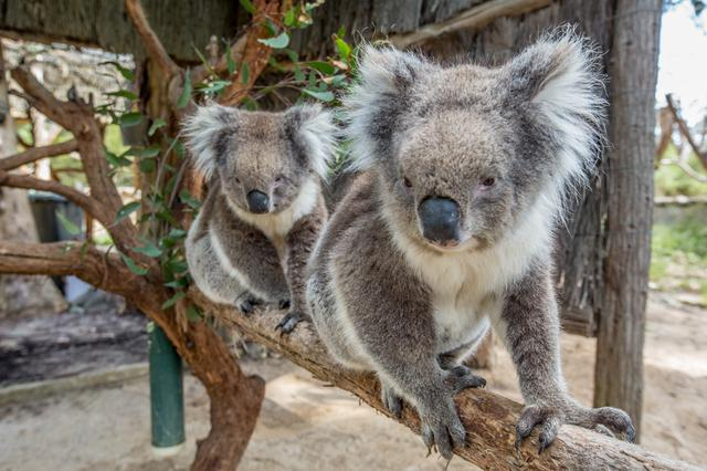 画像: お母さんコアラと歩く練習?(©️Tourism Australia)