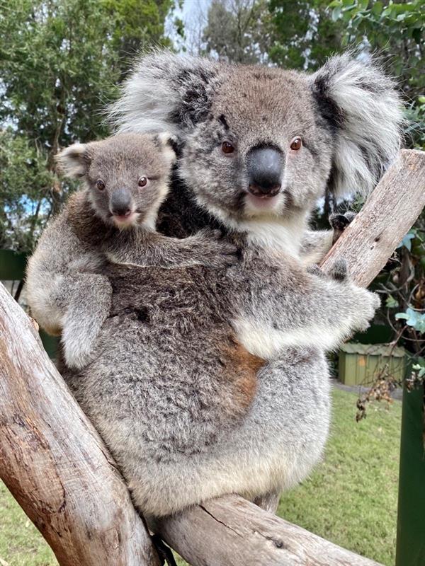 画像: お母さんコアラにおんぶ(©️Caversham Wildlife Park)