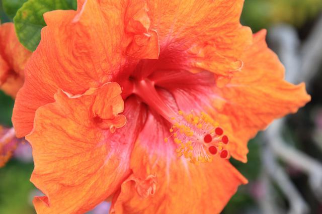 画像: オレンジハイビスカスの花©ハワイ島観光局(IHVB)カーク・リー・アダー