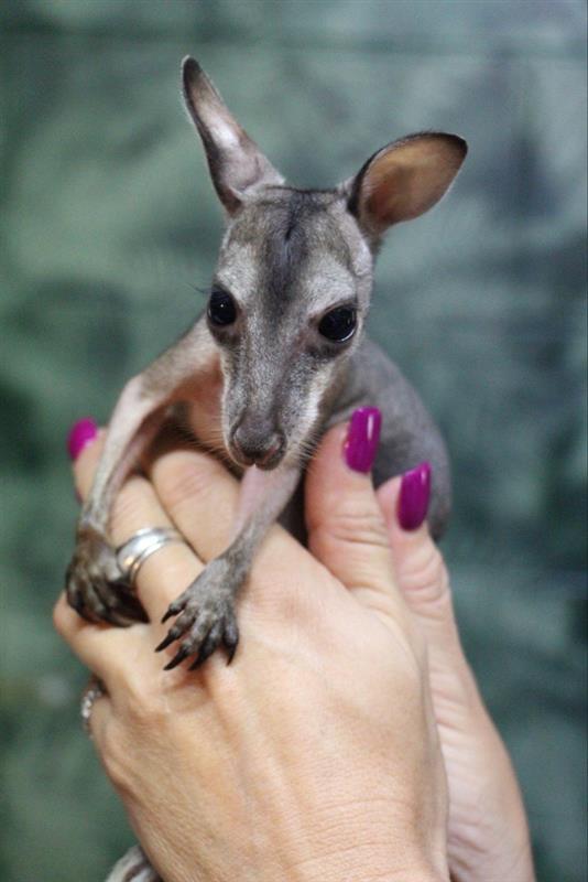 画像2: カンガルーの赤ちゃん(©CaPTAグループ)