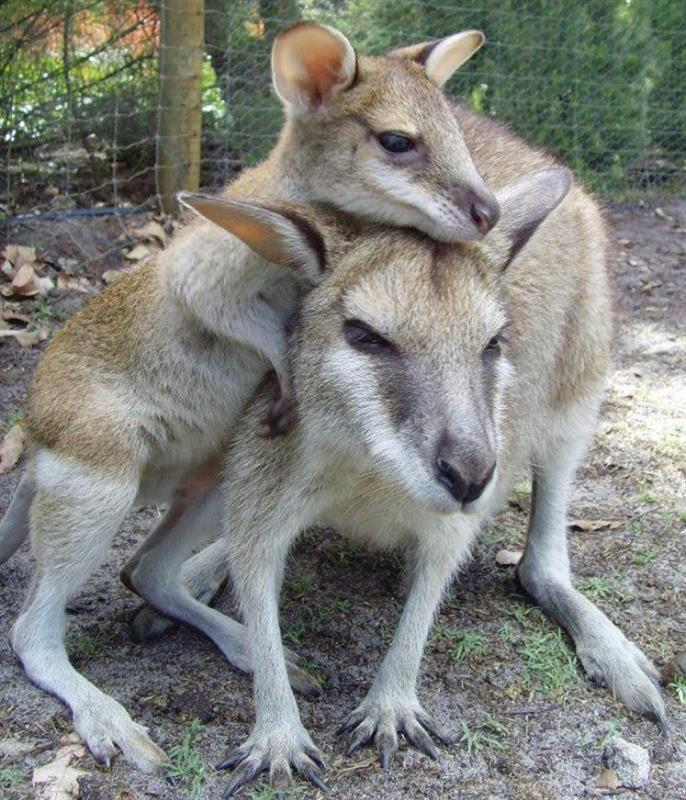 画像1: カンガルーの親子(©Caversham Wildlife Park)