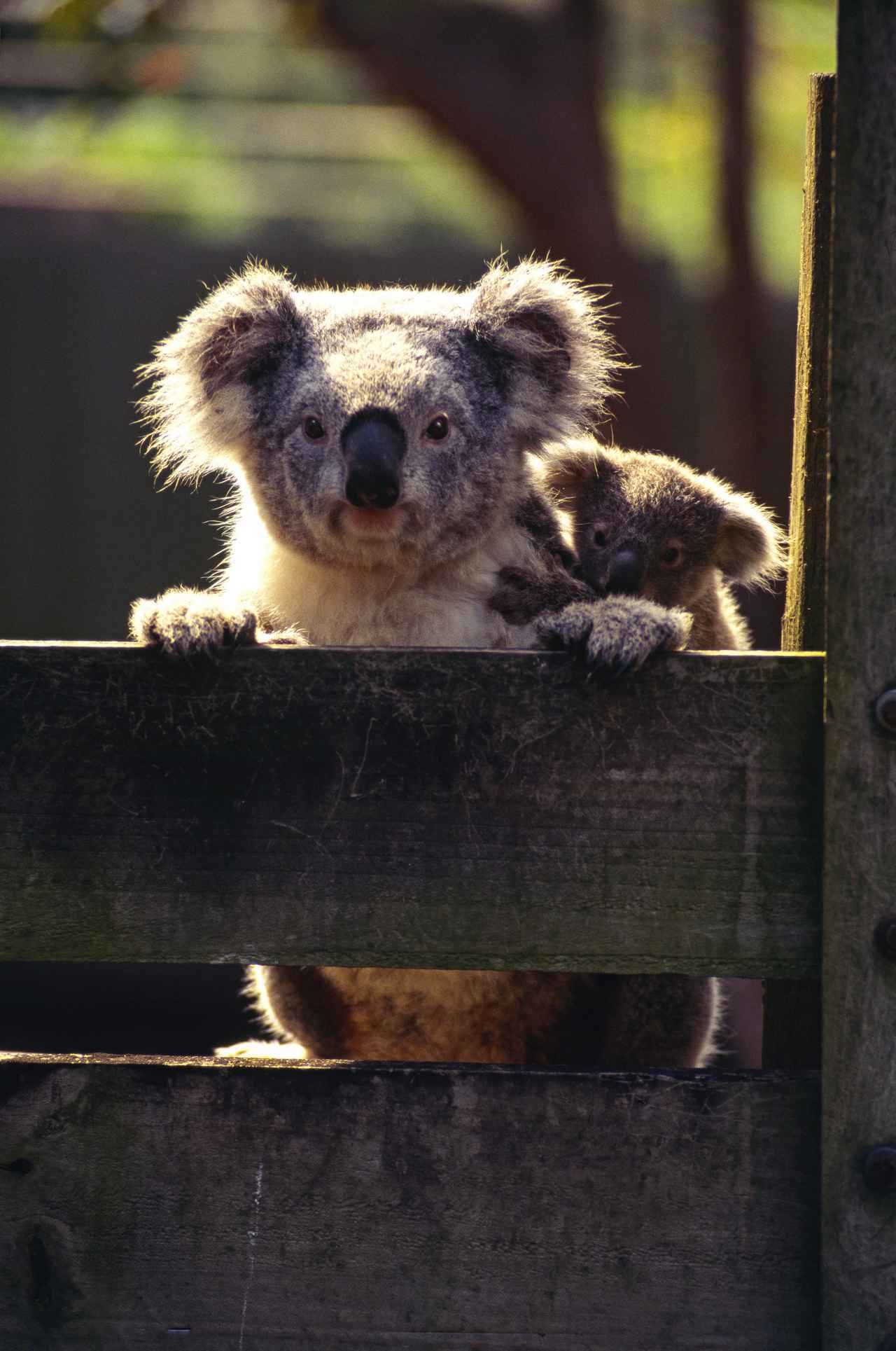 画像: お母さんコアラにおんぶ(©️Tourism Australia)