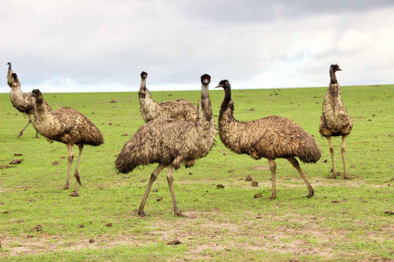 画像: エミュー(©Goin' Off Safaris)