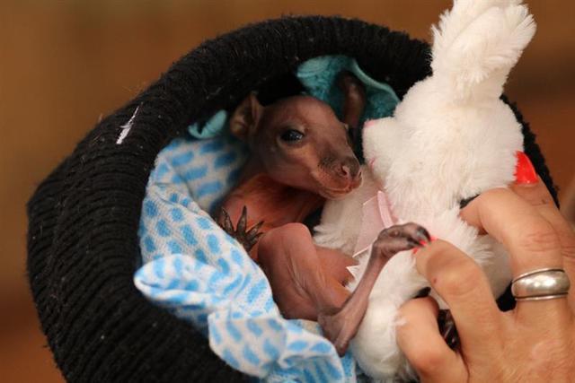 画像1: カンガルーの赤ちゃん(©CaPTAグループ)