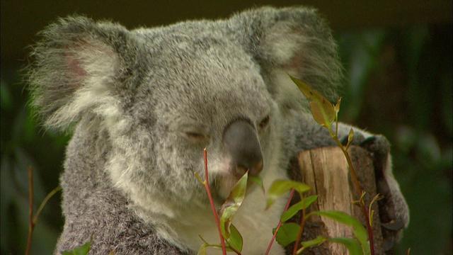 画像: オーストラリア動物イメージ動画(提供/Tourism Australia) ※他の動物の紹介もあり少し長いですがとても綺麗な映像です。40秒辺りからコアラの親子が観られます。 youtu.be