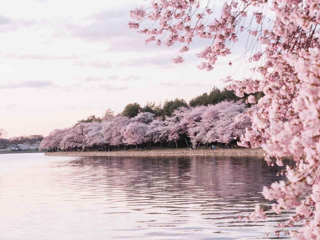 画像: ポトマック川沿いの桜(イメージ)