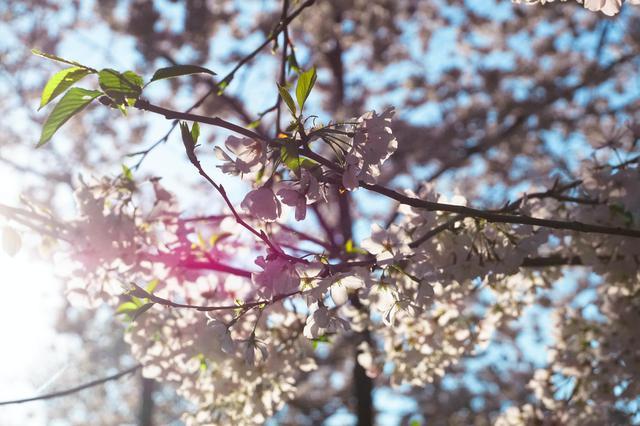 画像2: ワシントンの桜(イメージ)