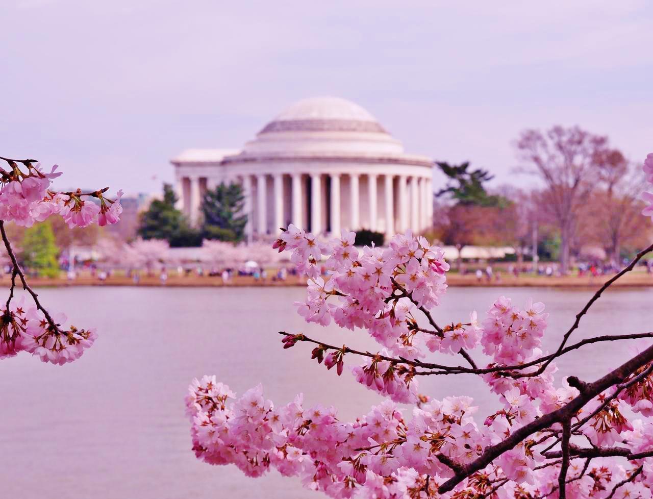 画像1: ワシントンの桜(イメージ)
