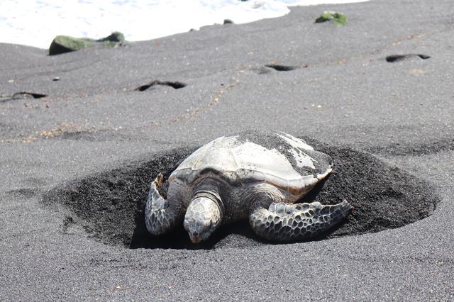画像: ツアーで訪れるプナルウ黒砂海岸にいるHONU(ハワイアオウミガメ)も幸運をもたらす守護精霊の一つです (撮影:YUKO)