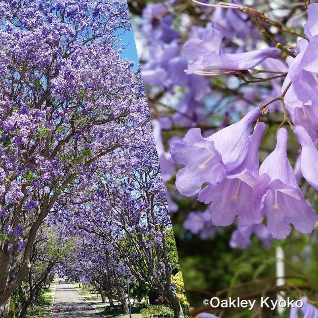画像: 『紫美しきジャカランダと遅咲きのワイルドフラワーの世界へ パース初夏の旅7日間』 各出発日19名様限定 クラブツーリズム