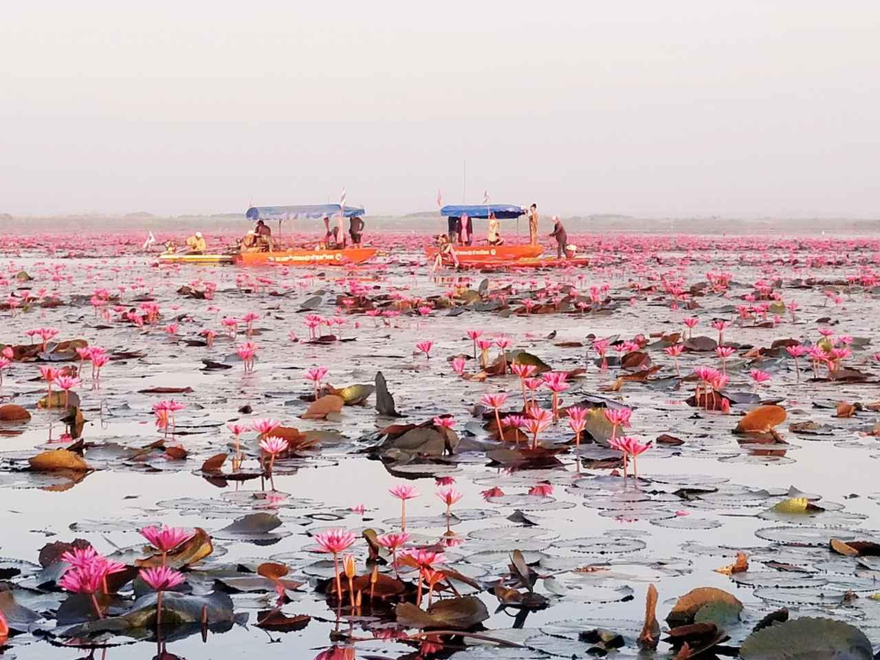 画像: ノーンハーン湖に広がる睡蓮(2019年1月弊社スタッフ撮影)