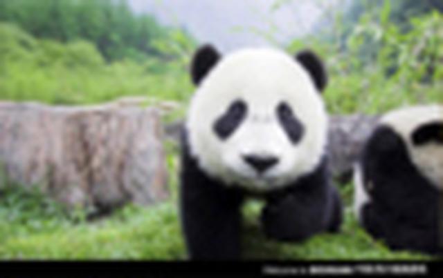 画像: <女性限定>『憧れのパンダに大接近!パンダのふるさとdeふわふわ天国 中国・四川省 6日間』<中国五千年倶楽部> パンダのお世話体験にご案内|クラブツーリズム