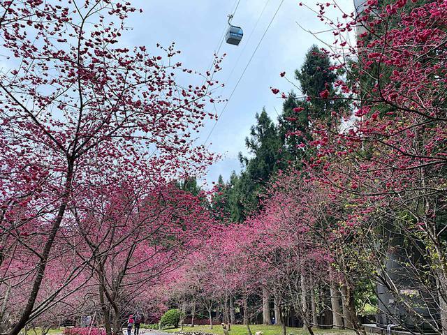 画像: 桜と九族ロープウェイ/弊社スタッフ撮影(2020年2月10日)