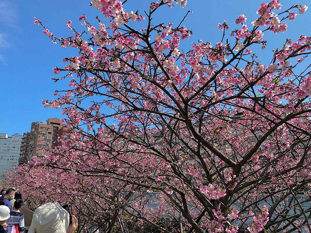 画像1: 東湖櫻花林の寒桜/弊社スタッフ撮影(2020年2月12日)
