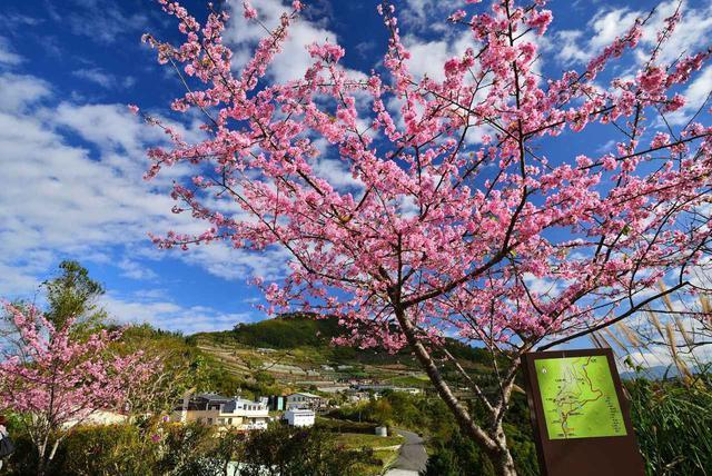 画像: 阿里山の桜/画像提供:阿里山国家風景区