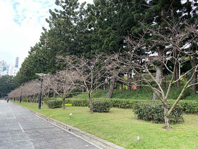 画像: 大漁桜の桜並木/弊社スタッフ撮影(2020年2月11日)
