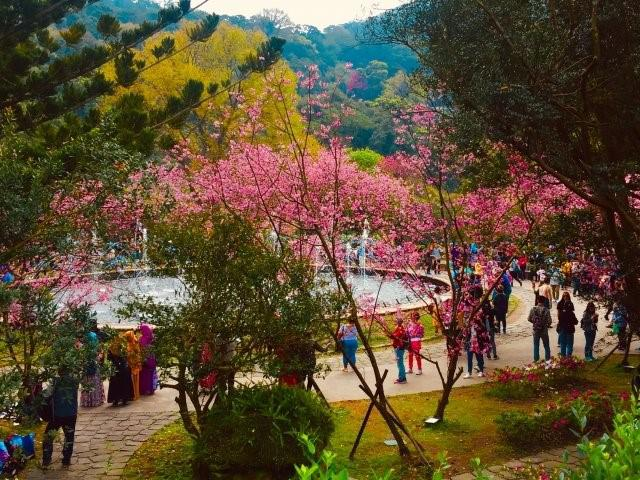 画像: 陽明山の桜/画像提供:台北市政府