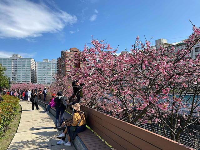 画像2: 東湖櫻花林の寒桜/弊社スタッフ撮影(2020年2月12日)