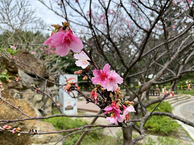 画像: 中正紀念堂の桜/弊社スタッフ撮影(2020年2月11日)