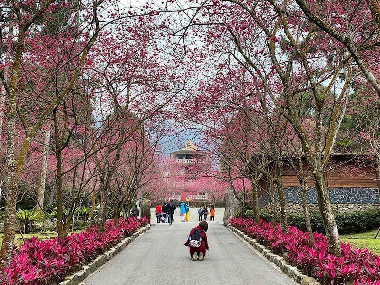 画像: 【台湾】桜の名所が実はたくさんあります!台湾桜の名所のご紹介 - クラブログ ~スタッフブログ~|クラブツーリズム