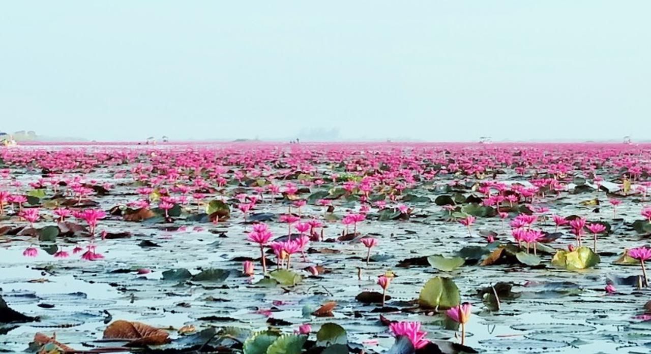 画像: ノーンハーン湖の赤い睡蓮(弊社スタッフ撮影 イメージ)