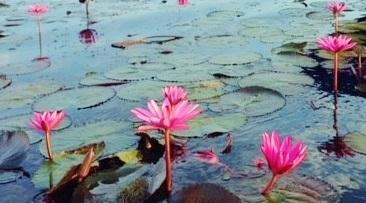 画像: ノーンハーン湖の睡蓮(イメージ)