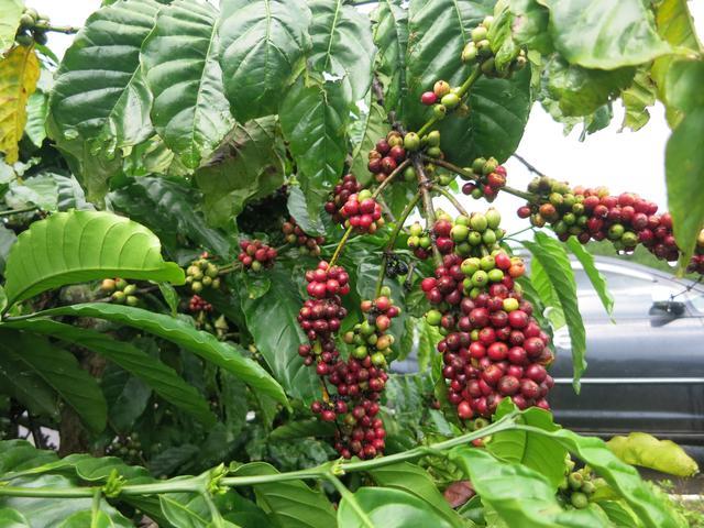 画像: ベトナムのコーヒー農場(スタッフ撮影)