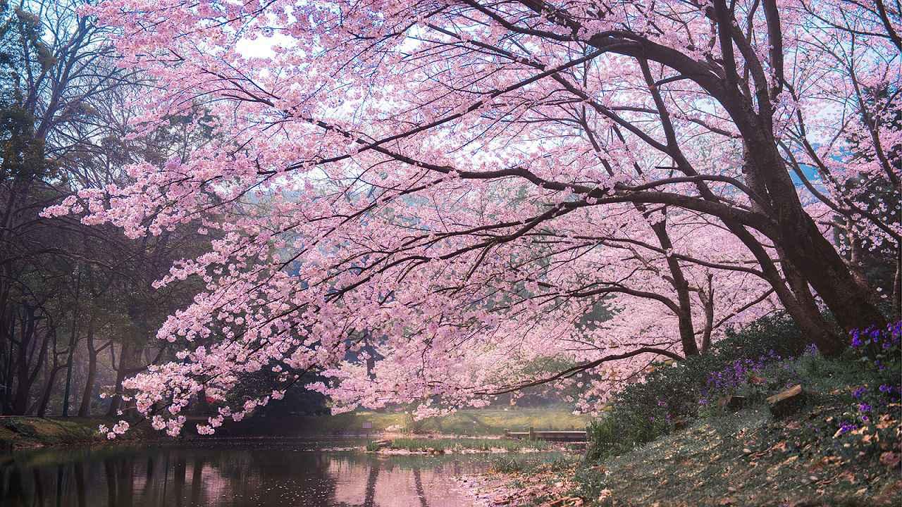 画像1: 無錫の桜(イメージ)