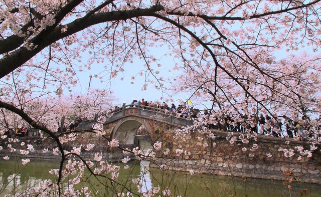 画像3: 無錫の桜(イメージ)