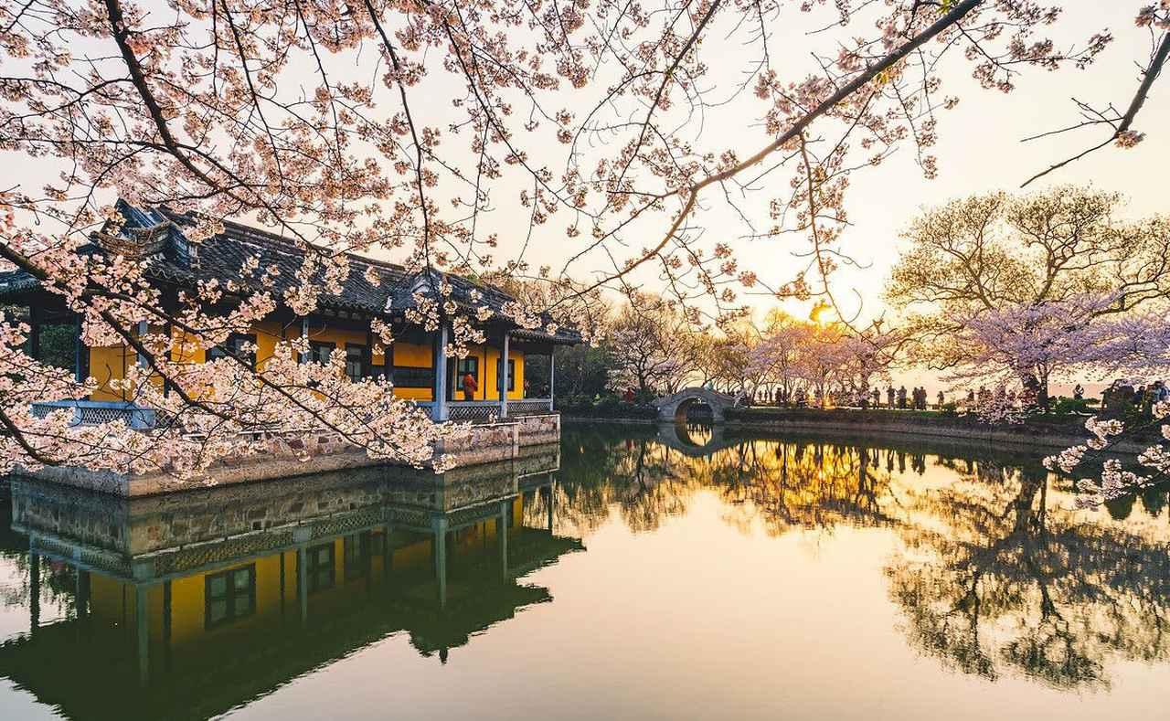 画像2: 無錫の桜(イメージ)