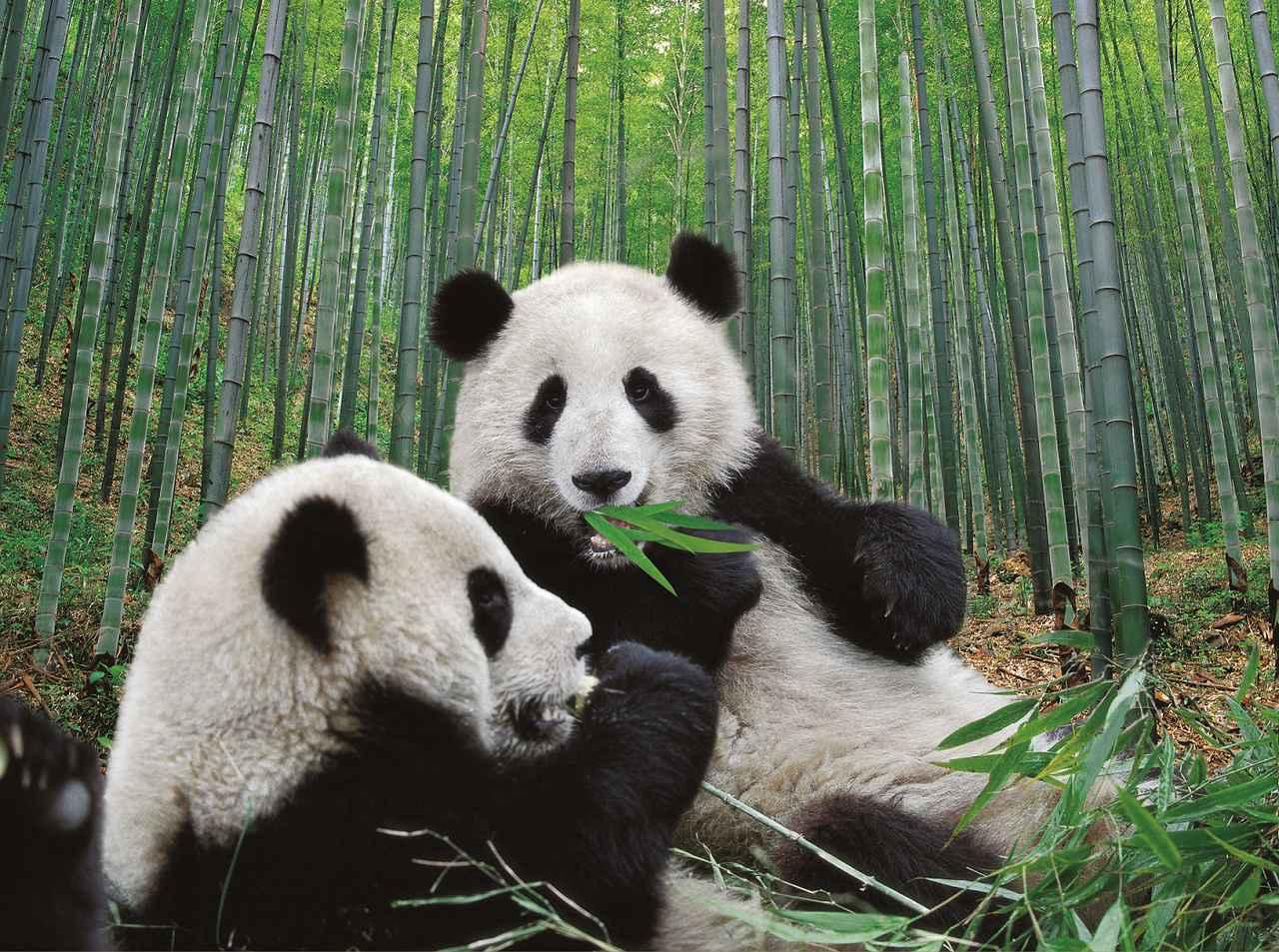 画像: 竹の葉っぱが美味しい~(中国国家観光局大阪提供 イメージ)