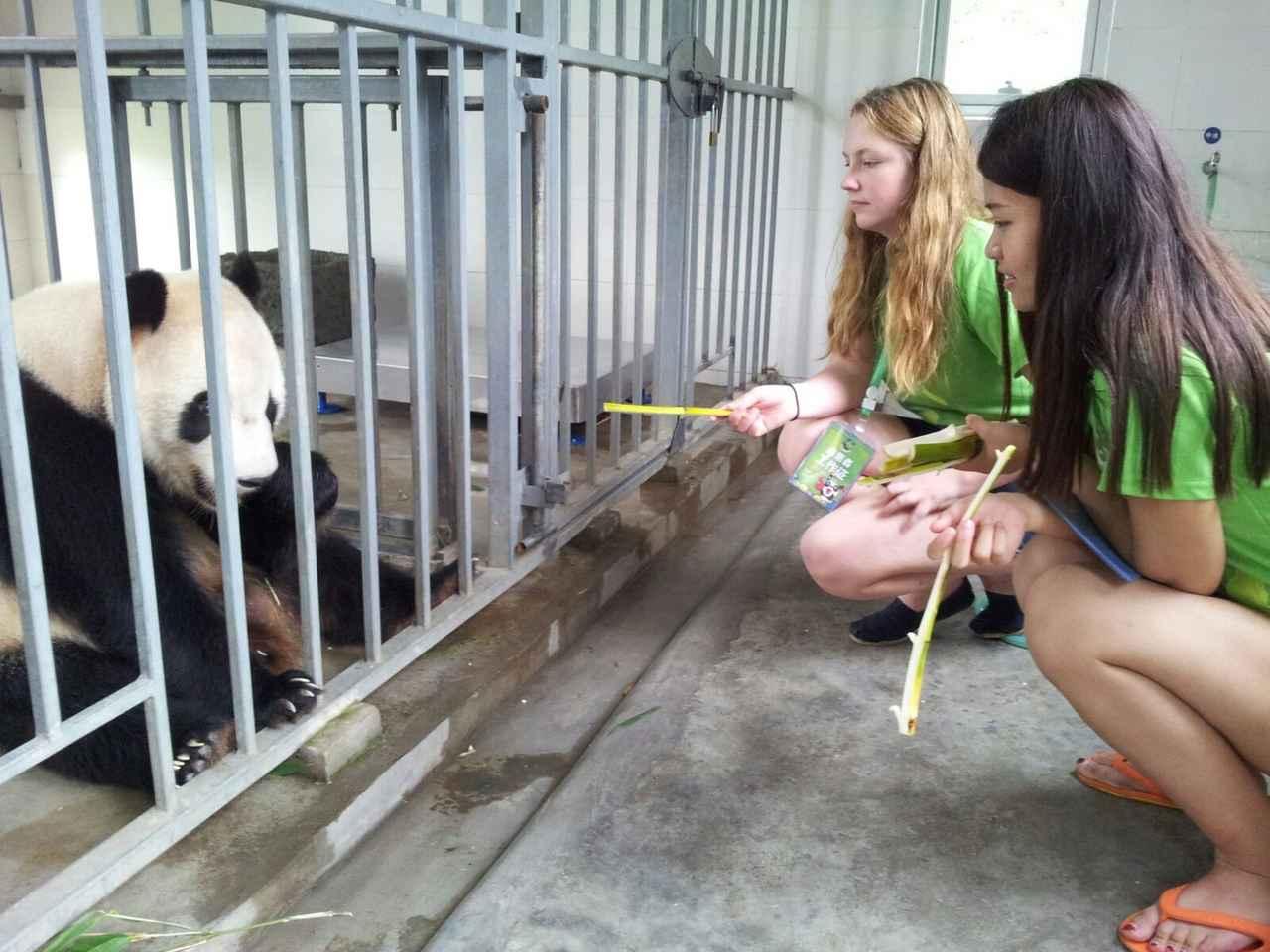 画像: <女性限定>『憧れのパンダに大接近!パンダのふるさとdeふわふわ天国 中国・四川省 6日間』<中国五千年倶楽部> パンダのお世話体験にご案内 クラブツーリズム