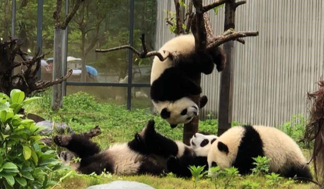 画像: 生後六か月の子供パンダ (弊社スタッフ撮影 イメージ)