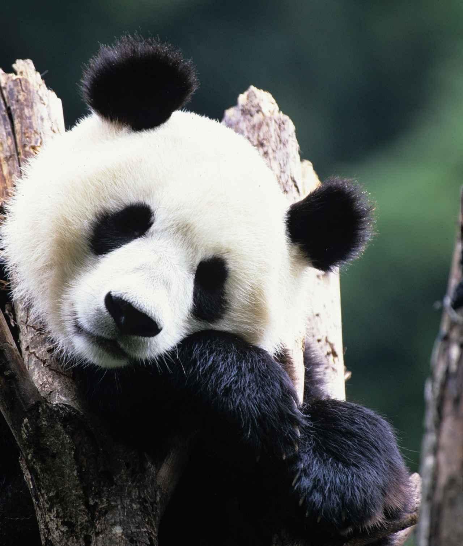 画像: 食べて、寝て、ぼーっとするのが好きなんだ~ (中国国家観光局・大阪提供 イメージ)