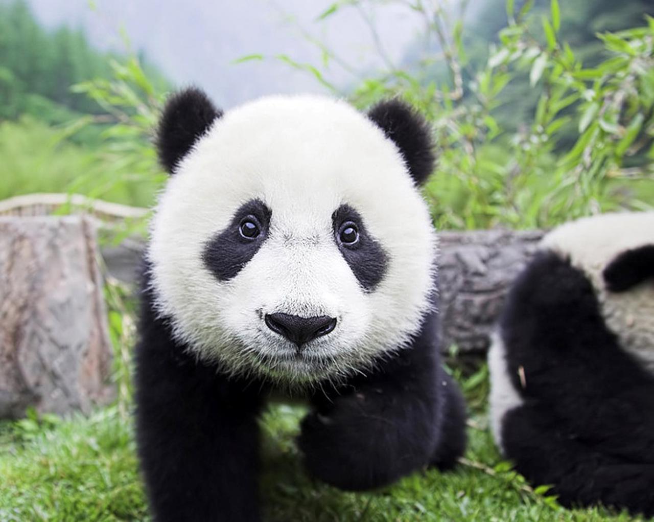 画像2: キュン死注意!ふわふわモフモフ大集合!<第6回> 「パンダのキュンに迫る! 中国」 【好奇心で旅する海外】<来た来た!アニマル>