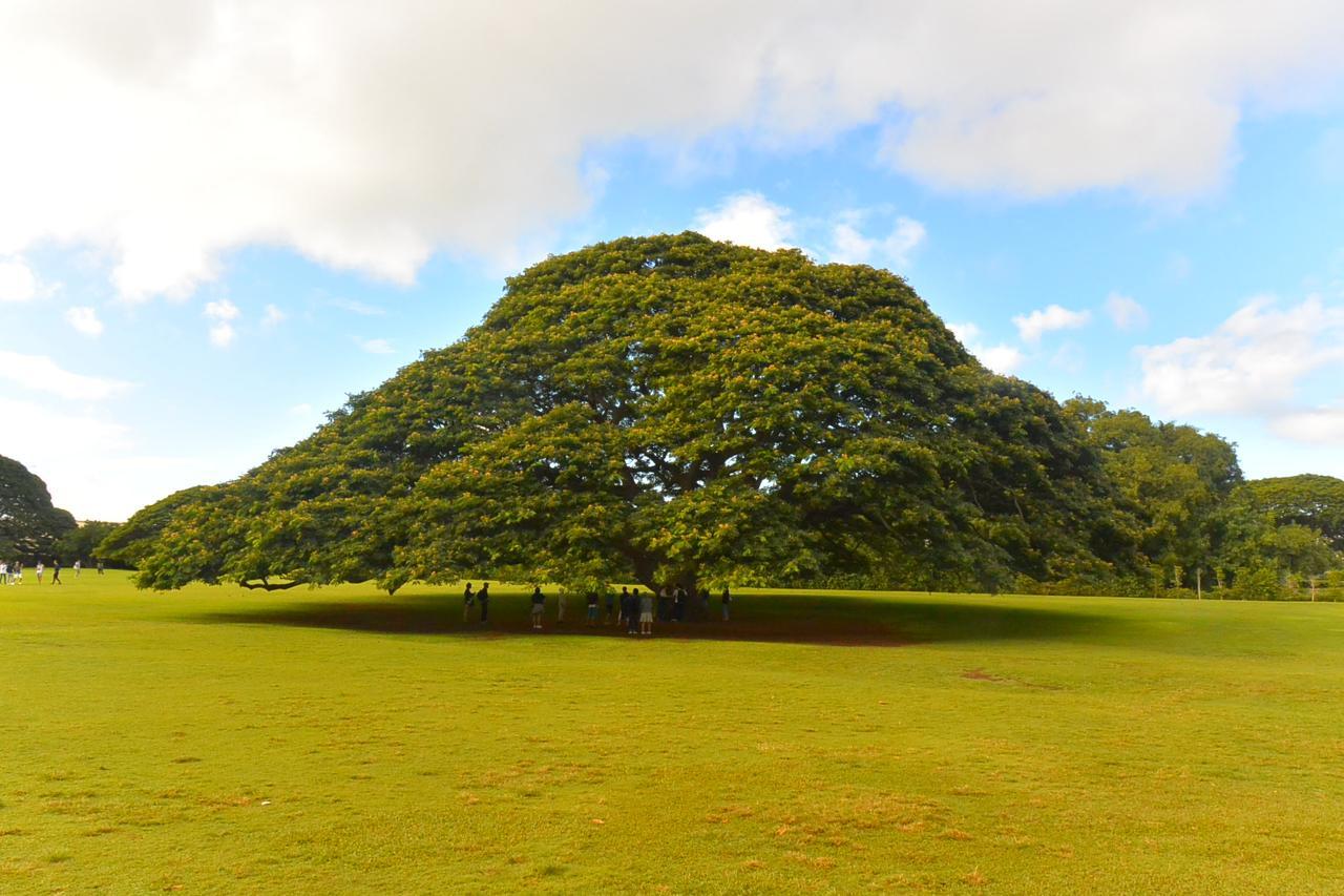 画像: 日立の樹で知られるモンキーポッド