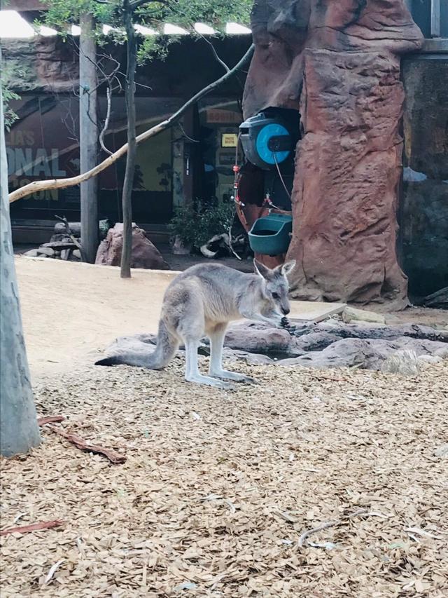 画像: カンガルー(イメージ) ※野生動物はご覧いただけない場合もございます