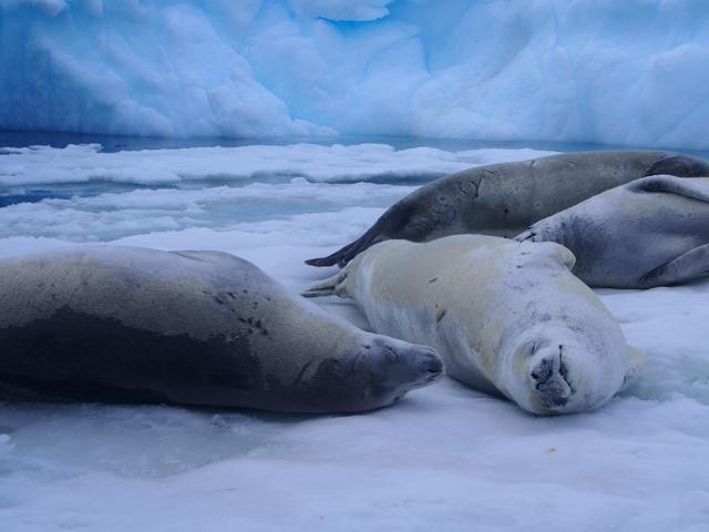 画像: 氷の上のアザラシ(弊社スタッフ撮影)