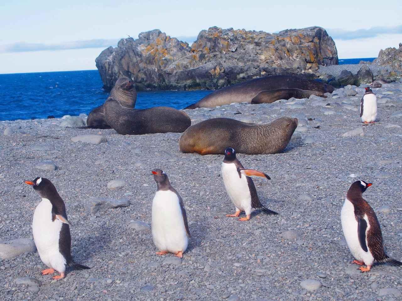 画像: ジェンツーペンギンと南極オットセイ(弊社スタッフ撮影)